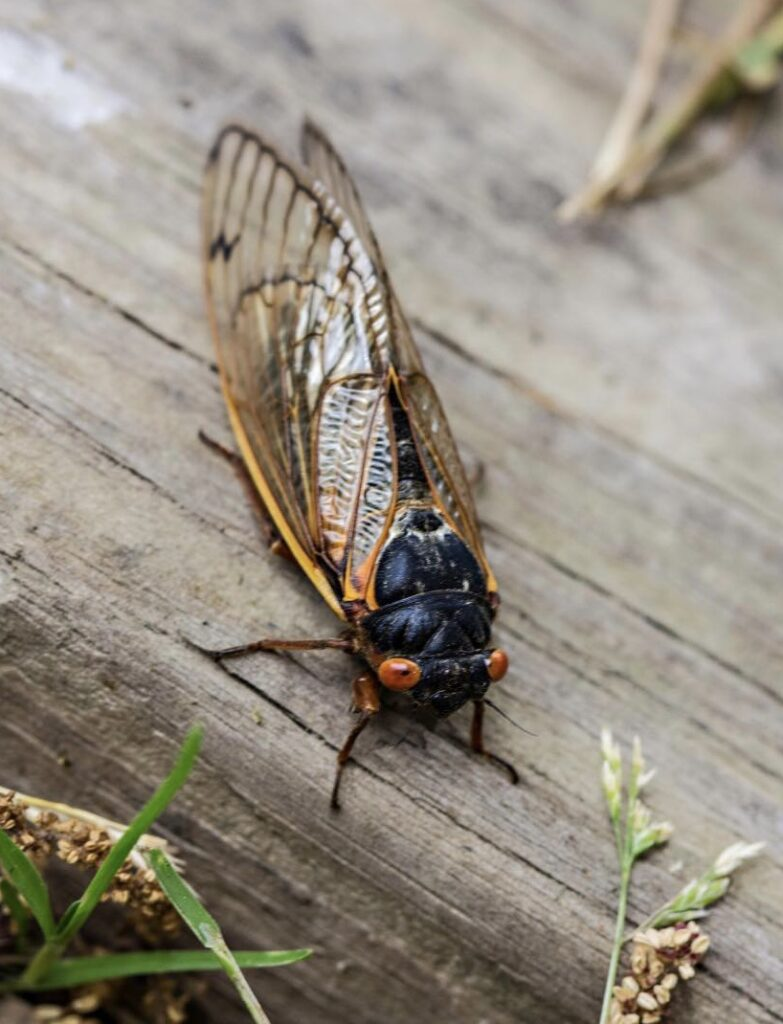 The Song of the Cicadas